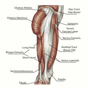 Image of posterior chain muscles.